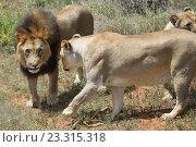 Купить «Львы в Африканской саванне, Намибия. Африка», фото № 23315318, снято 6 февраля 2016 г. (c) Знаменский Олег / Фотобанк Лори