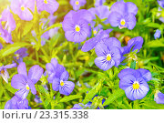 Купить «Светло-синие анютины глазки, летние цветы», фото № 23315338, снято 1 июля 2016 г. (c) Зезелина Марина / Фотобанк Лори