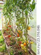 Теплица с помидорами. Стоковое фото, фотограф Юлия Морозова / Фотобанк Лори