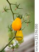 Жёлтые помидоры на ветке. Стоковое фото, фотограф Юлия Морозова / Фотобанк Лори