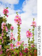 Мальва, или Просвирник (Malva) — травянистые растения, типовой род семейства Мальвовые (Malvaceae) Стоковое фото, фотограф Юлия Морозова / Фотобанк Лори