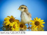 Купить «Милый маленький цыпленок с цветами на синем фоне», фото № 23317978, снято 27 июля 2016 г. (c) Peredniankina / Фотобанк Лори