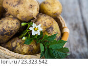 Купить «Raw potatoes with leaves on a table», фото № 23323542, снято 3 июля 2016 г. (c) Елена Блохина / Фотобанк Лори