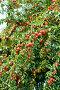 Плоды алычи на ветках, фото № 23324230, снято 21 июля 2016 г. (c) WalDeMarus / Фотобанк Лори