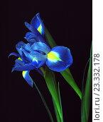 Купить «Синие ирисы на черном фоне», фото № 23332178, снято 23 октября 2018 г. (c) ViktoriiaMur / Фотобанк Лори