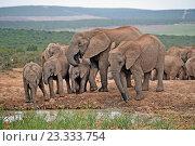 Addo, South Africa, elephant herd at waterhole in Addo Elephant National Park (2016 год). Редакционное фото, агентство Caro Photoagency / Фотобанк Лори
