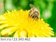 Пчела на желтом одуванчике. Стоковое фото, фотограф Алексей Безрук / Фотобанк Лори