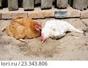 Две курицы принимают песочные ванны. Стоковое фото, фотограф Андрей Силивончик / Фотобанк Лори