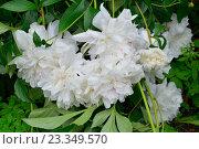 Купить «Куст белых пионов на грядке после дождя», фото № 23349570, снято 27 июня 2016 г. (c) Максим Мицун / Фотобанк Лори