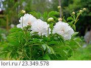 Купить «Куст белых пионов растёт на грядке», фото № 23349578, снято 27 июня 2016 г. (c) Максим Мицун / Фотобанк Лори