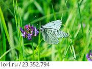 Бабочка Боярышница. Стоковое фото, фотограф Татьяна Маслова / Фотобанк Лори