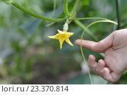 Маленький огурчик растет в теплице. Стоковое фото, фотограф Светлана Скрипник / Фотобанк Лори