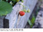 Спелая ягода клубники крупным планом на грядке. Стоковое фото, фотограф Светлана Скрипник / Фотобанк Лори