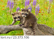 Купить «Raccoon (Procyon lotor) Babies exploring stump, captive, Minnesota wildlife Connection, Sandstone, Minnesota, USA.», фото № 23373106, снято 15 июня 2015 г. (c) age Fotostock / Фотобанк Лори