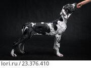 Собака стоит на черном фоне. Стоковое фото, фотограф Юра Добро / Фотобанк Лори
