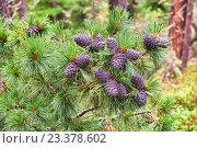 Купить «Шишки сибирского кедра (Pinus sibirica) на ветках в горной тайге», фото № 23378602, снято 1 августа 2016 г. (c) Виктор Никитин / Фотобанк Лори