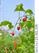 Купить «Красные ягоды малины на ветке на фоне неба в солнечный день», фото № 23382338, снято 24 июля 2016 г. (c) Максим Мицун / Фотобанк Лори