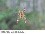 Паук на паутине. Стоковое фото, фотограф Владимир Одегов / Фотобанк Лори