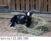 Известный козел Тимур на городской ферме на ВДНХ (2016 год). Редакционное фото, фотограф Данила Васильев / Фотобанк Лори