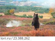 Купить «Бурый медведь в кальдере вулкана Узон на Камчатке на фоне пара гейзера», фото № 23388262, снято 26 сентября 2013 г. (c) Денис Черкашин / Фотобанк Лори
