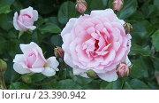 Купить «blossoming roses plant», видеоролик № 23390942, снято 11 мая 2016 г. (c) Яков Филимонов / Фотобанк Лори