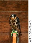 Купить «Хищная птица отряда соколиных чеглок - Falco subbuteo», фото № 23393770, снято 10 августа 2016 г. (c) Зезелина Марина / Фотобанк Лори