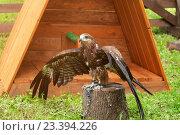 Купить «Черный коршун (Milvus migrans), расправляющий крылья», фото № 23394226, снято 12 августа 2016 г. (c) Зезелина Марина / Фотобанк Лори