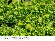 Текстура: зеленый салат. Стоковая иллюстрация, иллюстратор Михаил Степанов / Фотобанк Лори