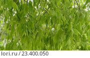Купить «Celtis australis or European nettle tree», видеоролик № 23400050, снято 27 апреля 2016 г. (c) BestPhotoStudio / Фотобанк Лори