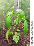 Купить «Молодое растение перца на грядке в теплице», фото № 23402006, снято 27 июня 2016 г. (c) Максим Мицун / Фотобанк Лори