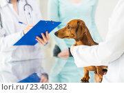 Купить «close up of vet with dachshund dog at clinic», фото № 23403282, снято 19 июля 2015 г. (c) Syda Productions / Фотобанк Лори