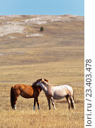 Купить «Пара диких молодых лошадей весной на Ольхоне», фото № 23403478, снято 10 мая 2015 г. (c) Виктория Катьянова / Фотобанк Лори