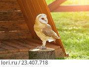 Купить «Обыкновенная сипуха - Tyto Alba - в неволе. Портрет совы сипухи, сидящей на пеньке.», фото № 23407718, снято 12 августа 2016 г. (c) Зезелина Марина / Фотобанк Лори
