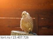 Купить «Пустельга - Falco tinnunculus - хищная птица отряда соколиных. Портрет пустельги в неволе крупным планом.», фото № 23407726, снято 12 августа 2016 г. (c) Зезелина Марина / Фотобанк Лори