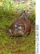 Купить «Сокол балобан - Falco cherrug - лежащий на траве с открытым клювом», фото № 23407850, снято 12 августа 2016 г. (c) Зезелина Марина / Фотобанк Лори