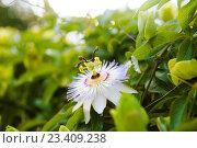 Купить «Необычный цветок», фото № 23409238, снято 6 августа 2016 г. (c) Алла Сизинцева / Фотобанк Лори