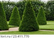 Касивые гладкие подстриженные деревья в парке. Стоковое фото, фотограф Александр Рыбин / Фотобанк Лори