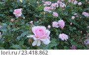 Купить «White roses plant», видеоролик № 23418862, снято 13 мая 2016 г. (c) Яков Филимонов / Фотобанк Лори