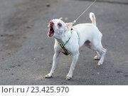 Купить «Маленькая лающая собака на поводке», фото № 23425970, снято 25 мая 2016 г. (c) Bala-Kate / Фотобанк Лори
