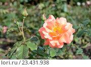 Купить «Розы в саду», фото № 23431938, снято 19 июля 2016 г. (c) Ирина Носова / Фотобанк Лори