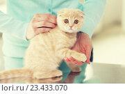 Купить «close up of scottish fold kitten and woman», фото № 23433070, снято 19 июля 2015 г. (c) Syda Productions / Фотобанк Лори