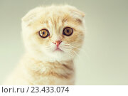 Купить «close up of scottish fold kitten», фото № 23433074, снято 19 июля 2015 г. (c) Syda Productions / Фотобанк Лори