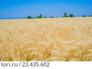 «Золотое» поле спелой ржи и голубое небо. Стоковое фото, фотограф Ivan Dubenko / Фотобанк Лори