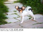Купить «Portrait of a four month-old Papillon puppy», фото № 23435654, снято 13 июля 2016 г. (c) Сергей Лаврентьев / Фотобанк Лори