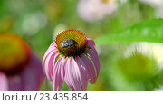 Beetle on a Echinacea flower. Стоковое видео, видеограф Игорь Жоров / Фотобанк Лори