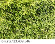 Купить «Green needles texture (background).», фото № 23439546, снято 22 мая 2016 г. (c) Юрий Брыкайло / Фотобанк Лори