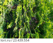 Купить «Thuja tree twids.», фото № 23439554, снято 28 мая 2016 г. (c) Юрий Брыкайло / Фотобанк Лори