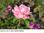 Купить «Роза», фото № 23439806, снято 19 июля 2016 г. (c) Ирина Носова / Фотобанк Лори