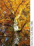 Купить «Осеннее дерево», фото № 23442186, снято 22 октября 2015 г. (c) Татьяна Кахилл / Фотобанк Лори