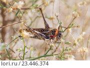 Перелетная саранча. Стоковое фото, фотограф Алексей Шматков / Фотобанк Лори